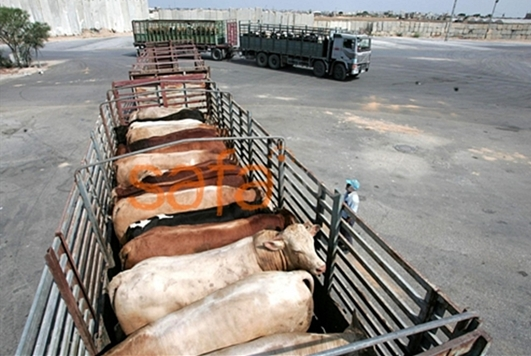 Gaza_Cattle_from_Israel_2010-07-12.jpg